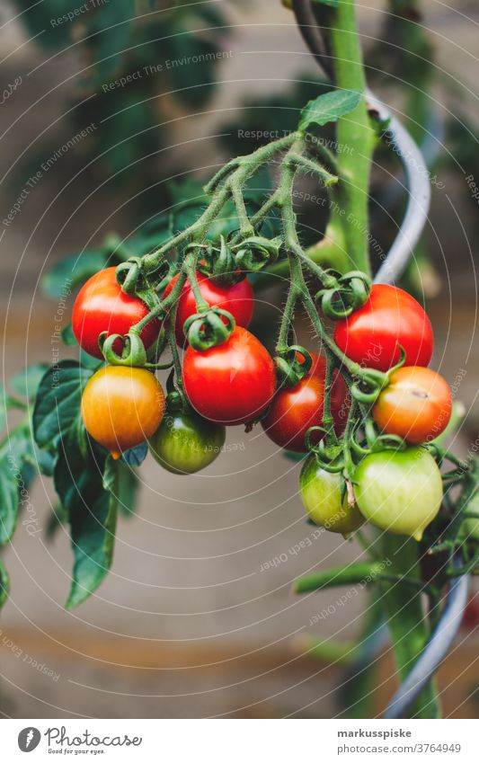 Urban Gardening Self Support - Tomato agriculture allium bean Bio bloom breed breeding broccoli carrot controlled farming courgette cultivation food gardening