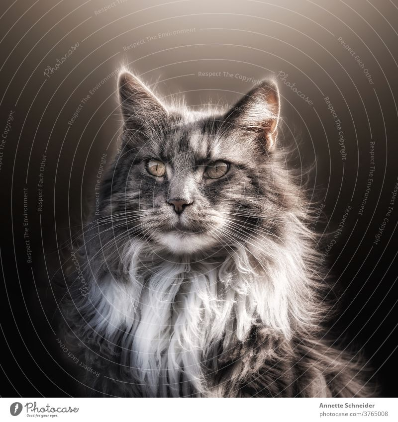 Maine Coon Cat maine coon cat purebred cat Pelt Longhaired cat Fluffy Ear tufts One animal pets Enchanting portrait Cute already