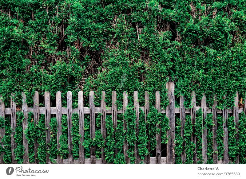 Thuia with fence Hedge Thuia hedge Nature bushes Exterior shot Colour photo Day Plant Garden Deserted green Environment Summer Copy Space top Gray