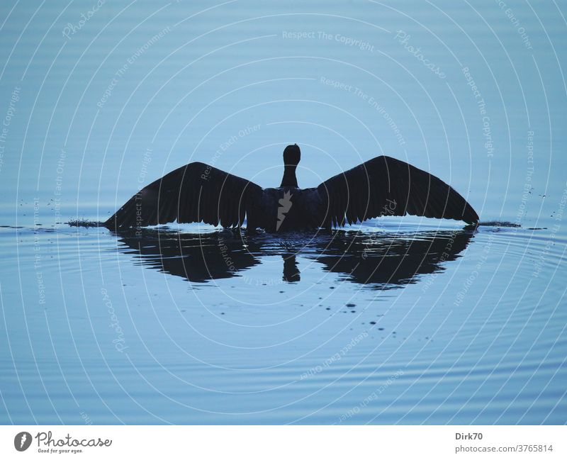 Cormorant shortly before takeoff birds waterfowl be afloat take off Ready to start departure ready to take off Escape flee Wet Water Surface of water Lake Pond