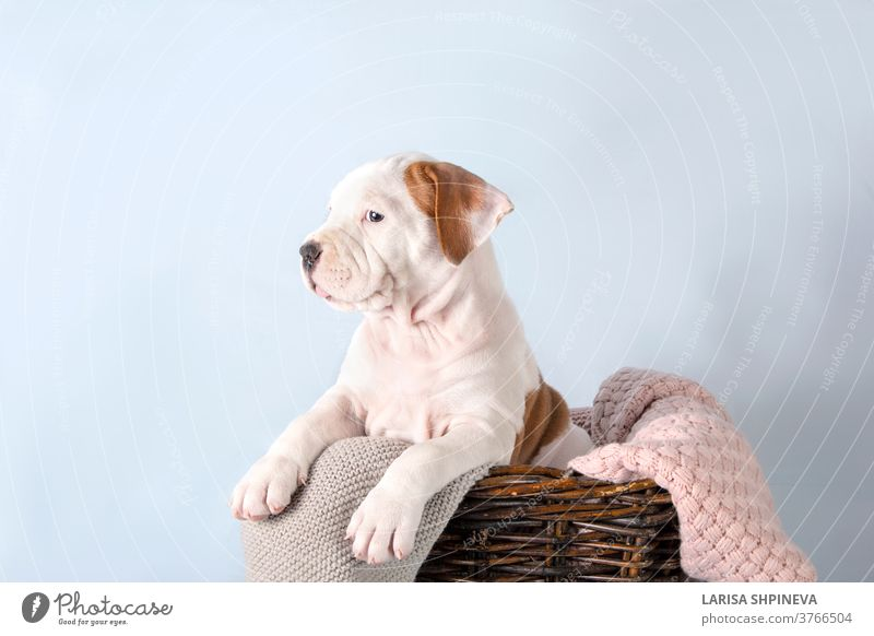 Funny cute puppy American Staffordshire Terrier sitting in basket on light blue background, close-up dog white pet happy funny studio staffordshire terrier