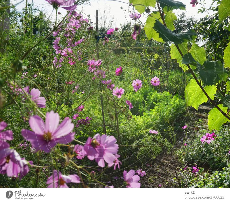 FLOWERING TIME Summer bleed bushes flowers Cosmos Sky Bright Meadow Cosmea Deserted Sunlight already Joie de vivre (Vitality) Exterior shot Optimism Environment