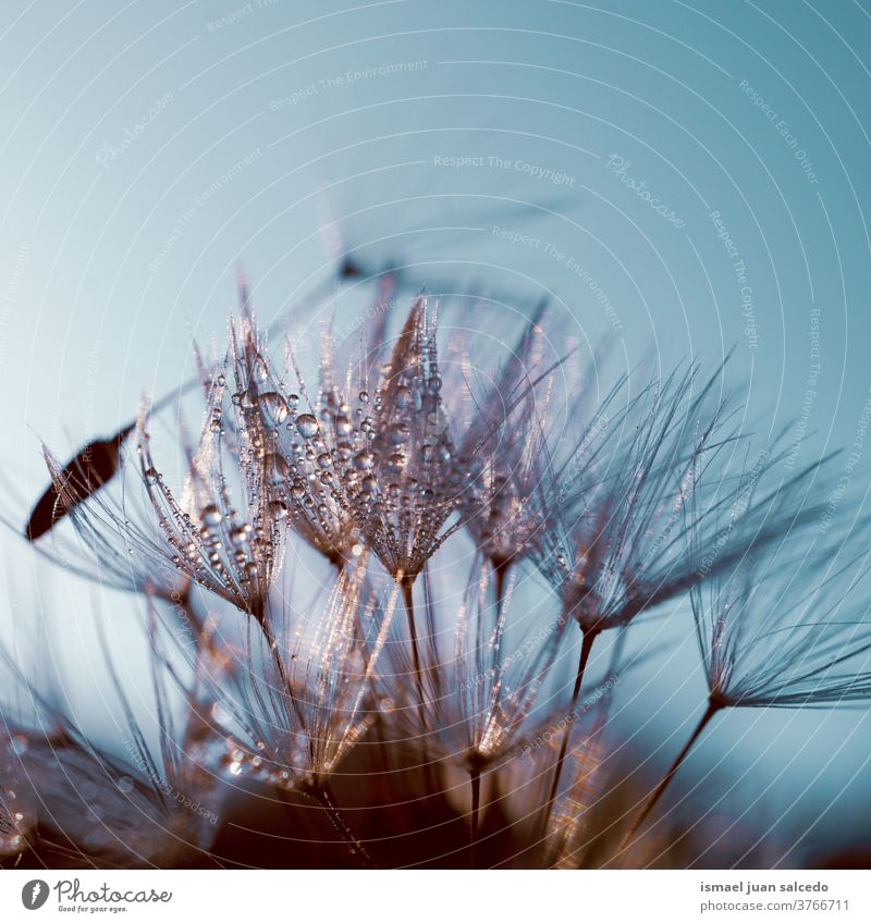 raindrops on the dandelion seed, rainy days in autumn season flower plant wet freshness fragility floral beautiful garden nature decorative decoration abstract