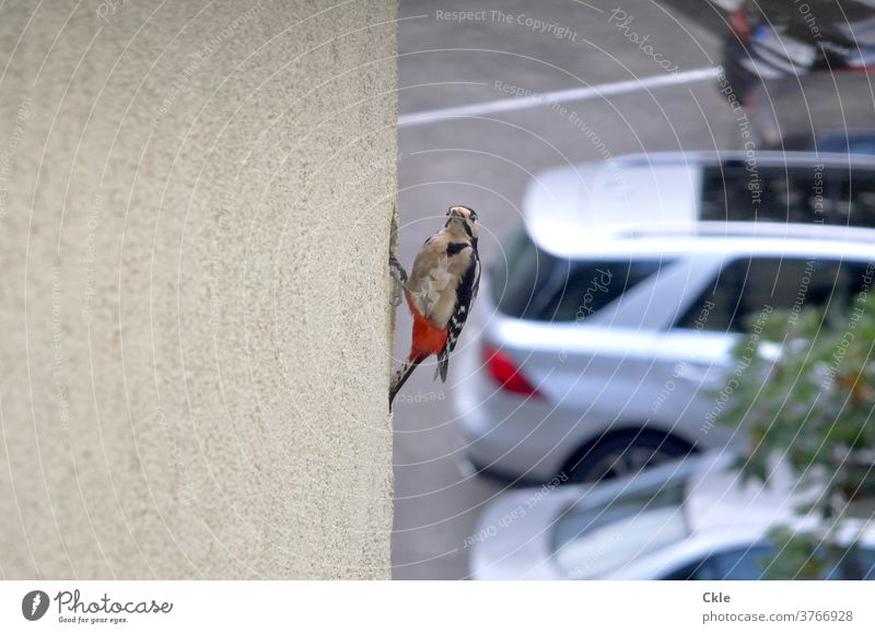 Woodpecker builds nest in insulated house facade woodpecker hole birds Animal Wild animal Colour photo Habitat Animal portrait ecology Spotted woodpecker