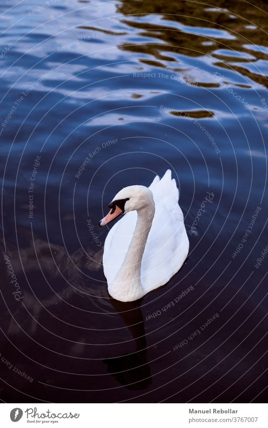 photography of a swan bird beautiful nature animal white wildlife background water beauty elegance lake blue reflection feather wing landscape outdoor symbol