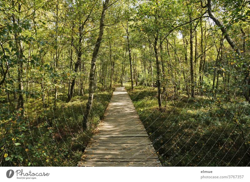 Wooden plank path through the sun-drenched moor with birch vegetation Bog Birch tree Woodway Wood planks moor forest Birch wood Carpathian birches Landscape