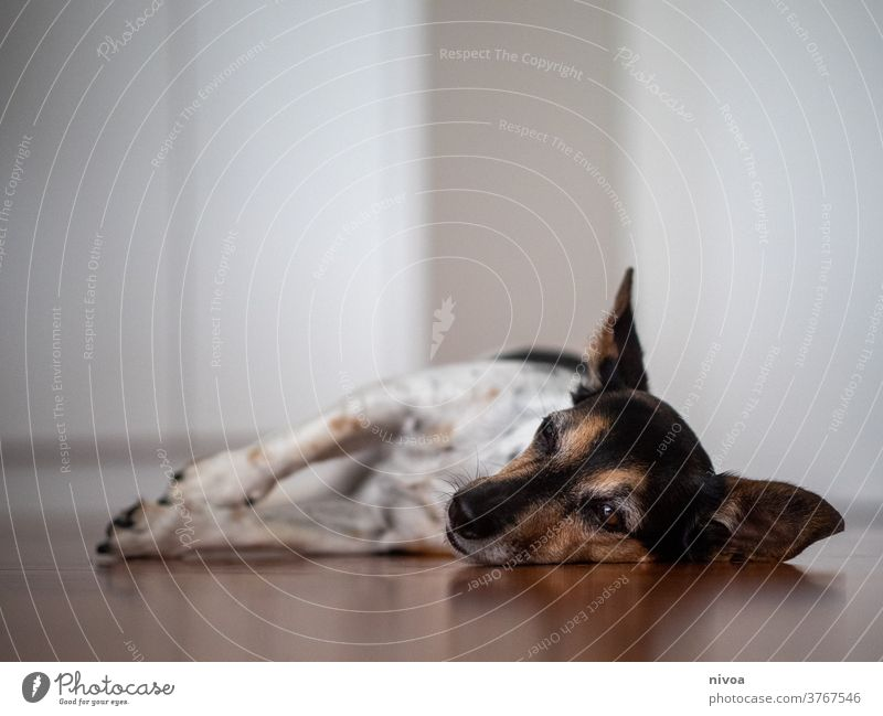 Jack Russel Terrier Jack Russell terrier jack russell lying down Dog adoption small Brown indoor White Animal dog pet cute Pet Cute Small Lifestyle Purebred