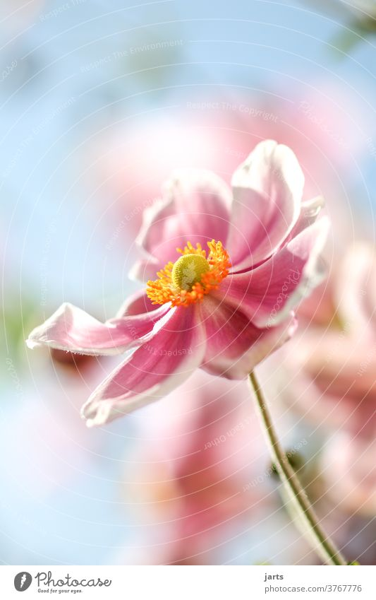 autumn anemone Chinese Anemone Autumn flowers Indian summer late summer Plant bleed Exterior shot Colour photo Nature Garden Close-up Blossoming Deserted Detail