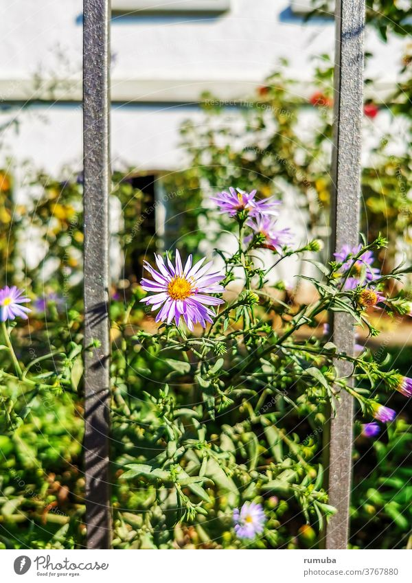 flowers fence house garden Exterior shot Metal Pattern Protection Structures and shapes Abstract Metalware Grating Barrier flowery Fence Ornamental plant Plant