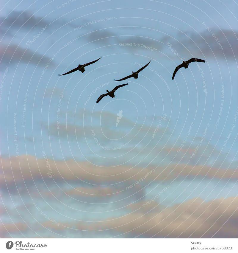 Flying Art birds flight Flight of the birds wild geese Migratory bird Gray lag goose Freedom flying birds Sky at the same time Birds fly Air sky blue Wild goose