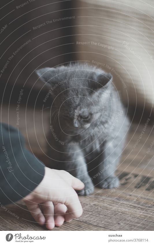 little cat looks suspiciously at a hand that approaches him Cat hangover small youthful Sweet Cute tom British shorthair cat purebred cat Pet Kitten