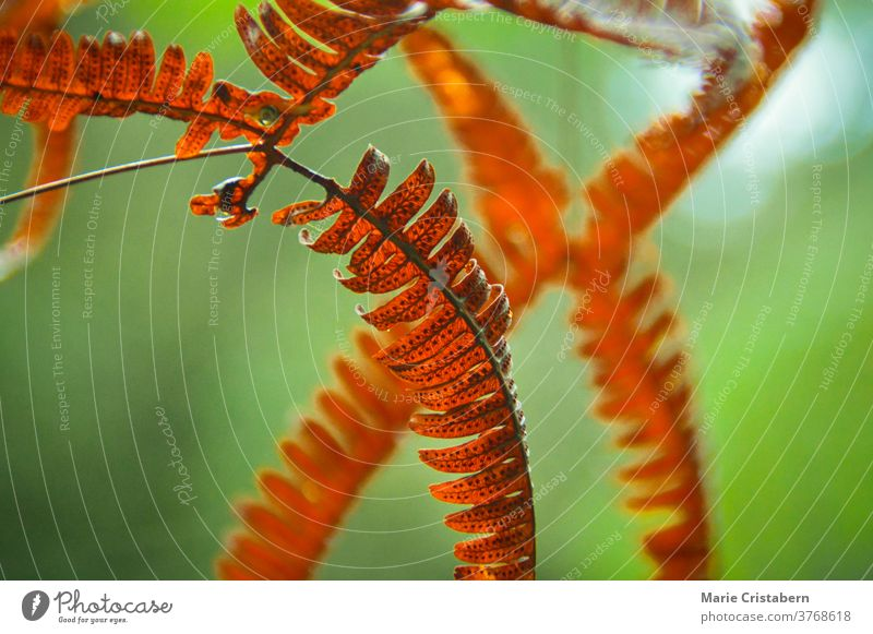 Close up of fern leaves changing to red orange color during the early autumn season red fern leaves close up macro green Autumn season changing season