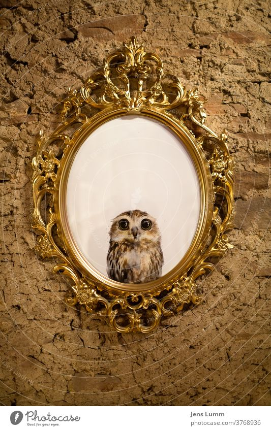 Photo of an owl in an old picture frame Baroque foolish Funny crafted Home-made golden Frame Picture frame Unplastered Mirror anxiously Insecure white space