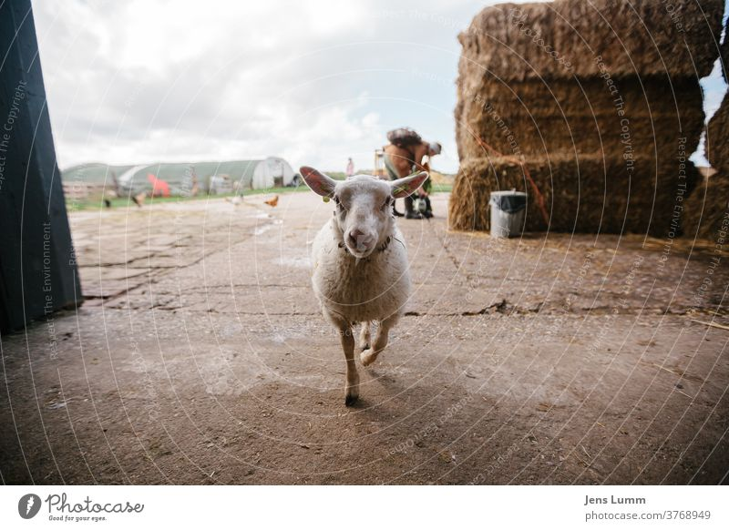 Sheep enters barn Farm Hay Hay bale Barn chill Summer vacation cloudy sky Netherlands Sunlight Wool young animal Be confident inquisitorial Curiosity Straw