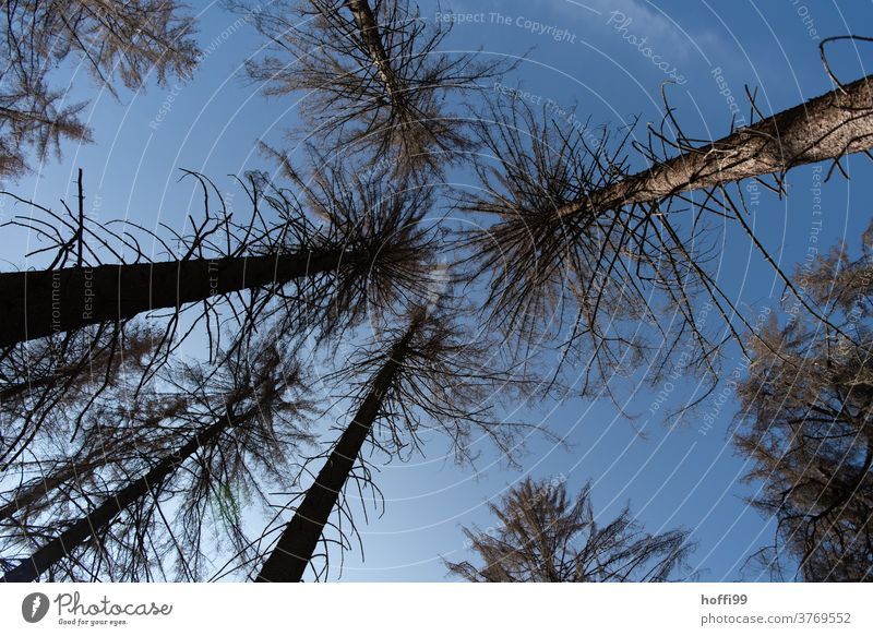 look up into the dead tree tops - the bark beetle is there Bark-beetle bark beetle infestation Forest death wood tree trunks Tree trunk cubic metre