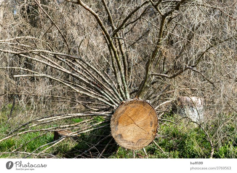 felled tree - the bark beetle is here Bark-beetle bark beetle infestation Forest death wood tree trunks Tree trunk cubic metre Climate change Forestry Nature