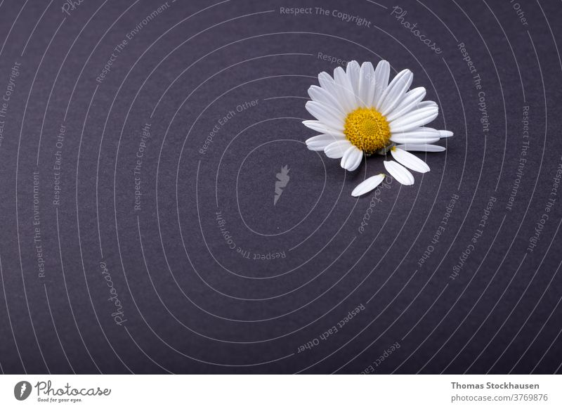 single daisy flower on anthracite background. individual petals are next to it beautiful beauty black bloom blooming blossom botany chamomile chamomilla