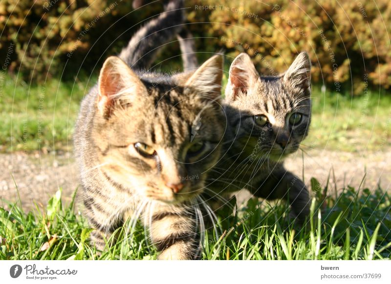 two tigers Cat Pet Animal Paw Hunting Nature Creep