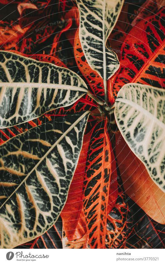 Amazing details of a codiaeum variegatum plant croton leaf leaves pattern contrast organic texture matte color intense botany botanic garden gardening elegant