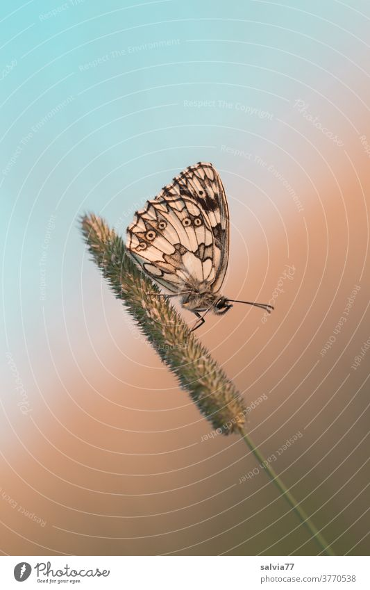 take a break! Butterfly in rest position Checkered Butterfly Insect lepidoptera Grand piano Feeler Nature Animal portrait Macro (Extreme close-up) Grass blossom