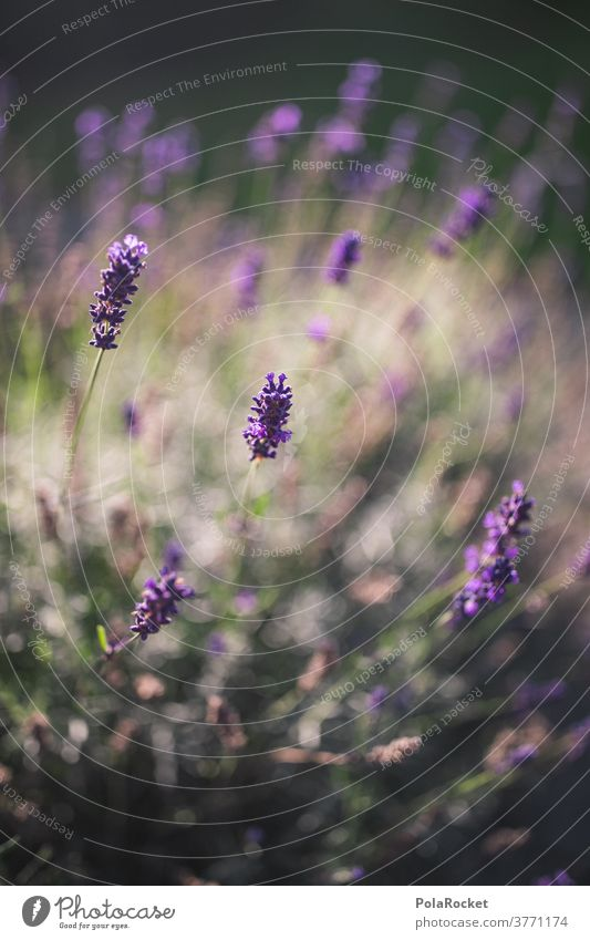 #A# Lavender in garden II Fragrance Detail Esthetic Long shot Day Colour photo Contrast France Provence Nature Shallow depth of field Exterior shot Violet