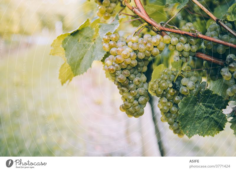 Bunch of grape for txakoli wine ripening in the vine vineyard bunch white white wine Basque Country Hondarribia Getaria close up cluster agriculture harvest