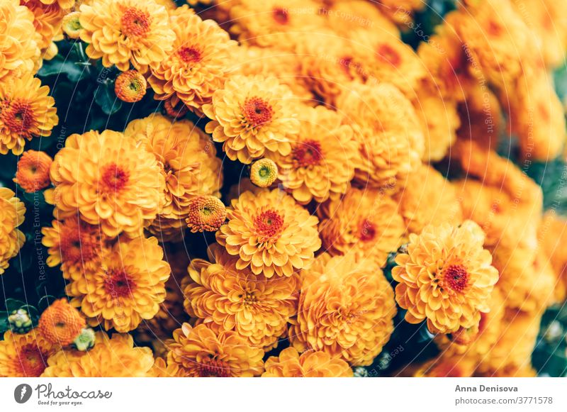 Orange chrysanthemum flowers garden october fall orange autumn floral bouquet nature colorful background yellow blooming texture wallpaper calendar vibrant