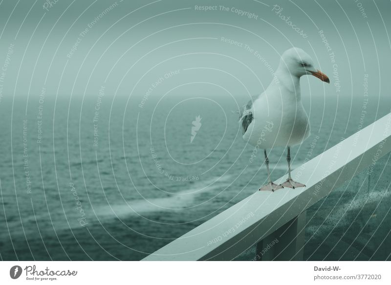 a gull in a storm at the rough seas Seagull Storm Rough Sea Ocean ocean Bad weather Swell on board Waves Gray windy Rain somber