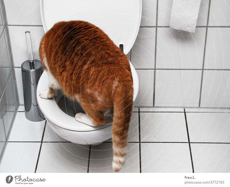 Somehow this is not quite right, the red tabby cat thought after jumping on the toilet seat. Cat Bathroom Pet Animal Domestic cat Toilet