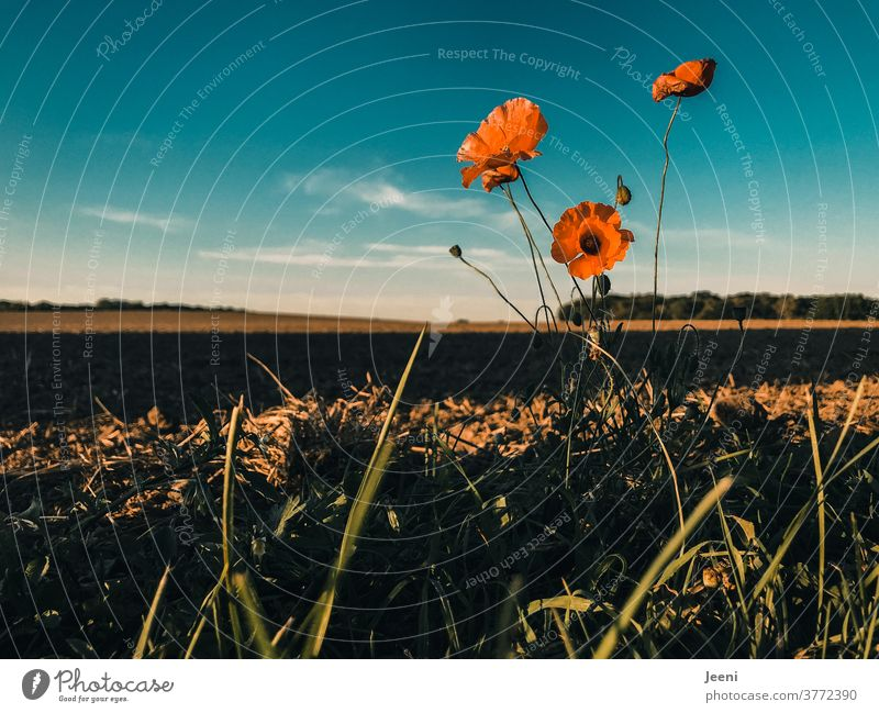 Red poppy flower at the edge of the field Poppy Poppy blossom poppy-seed red Orange Field Sky Blue cloud Clouds Margin of a field wayside Nature Autumn Plant