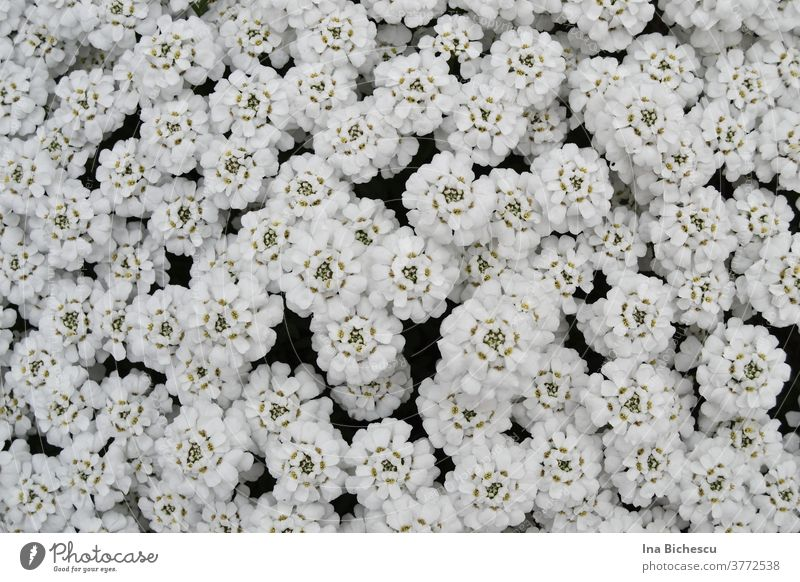 Countless white flowers with light green pistils cover almost the entire surface of the picture. bag texture Pattern background Decoration White Plant already