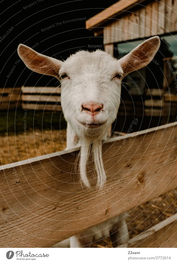Friendly goat Animal Animal portrait fortunate Laughter Smiling Facial hair Close-up close up Fence Brown Barn White Beauty & Beauty pretty Tone-on-tone