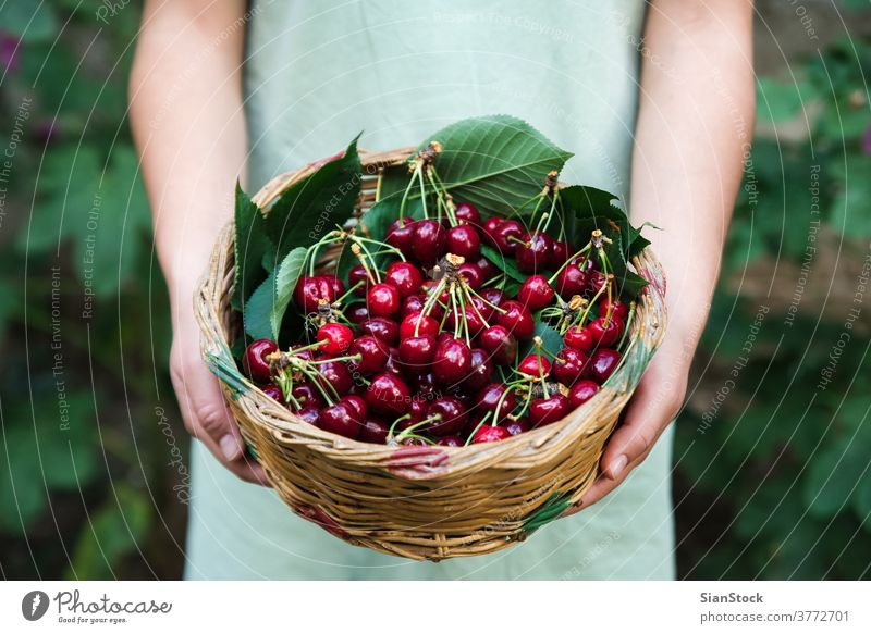 young woman on the graden hold a basket with cheries. cherry juicy healthy food hand apron organic ripe vegetarian agriculture fruit fresh girl nature natural