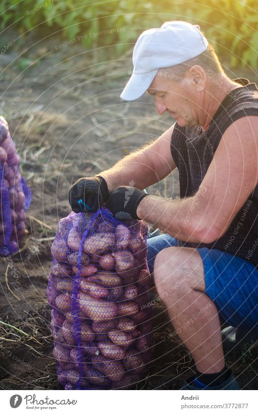 The farmer rolls up the filled mesh bag of potatoes. Harvesting potatoes on farm plantation. Preparing food supplies. Farming. Countryside farmland. Growing, collecting, sorting and selling vegetables