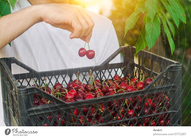 A farmer holds a box of freshly picked red cherries in the garden. Fresh organic fruits. Summer harvest. Selective focus. picking harvesting gardening worker