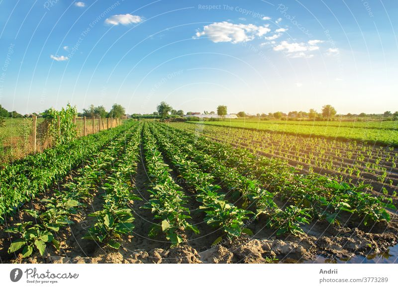 Aubergine plantations grow in the field on a sunny day. Organic vegetables. Agricultural crops. Agricultural crops. Agro-industry and agrobusiness. European agriculture. European Agriculture. Aubergine. Selective focus