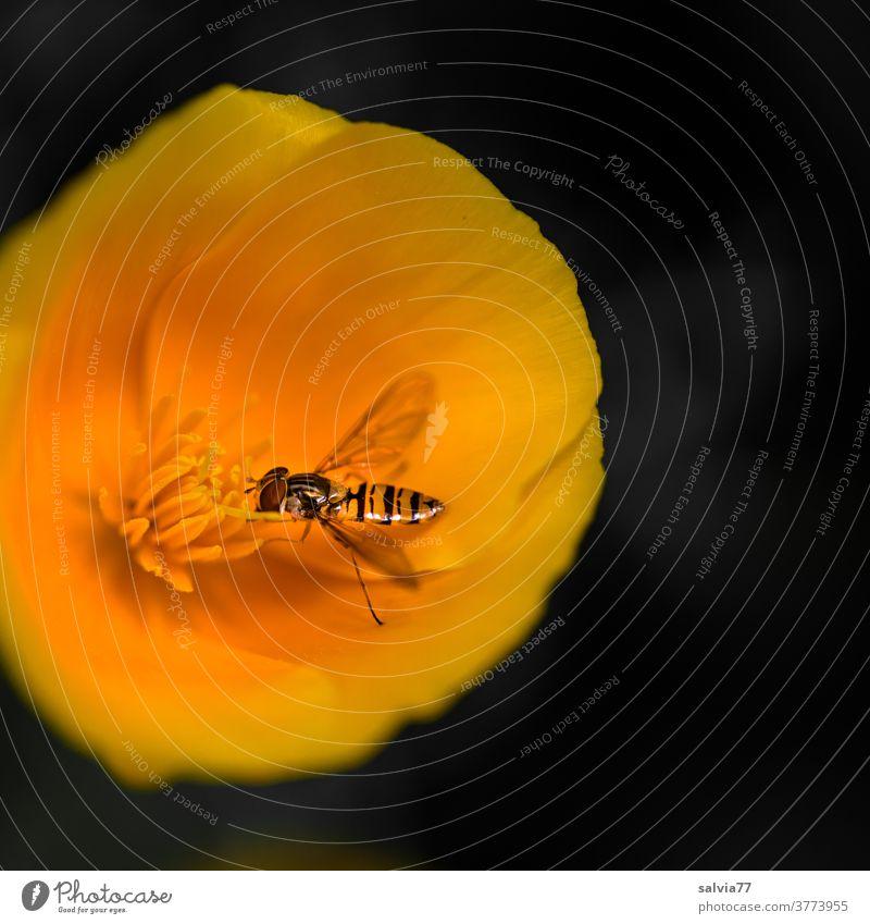 Hoverfly snacks on California poppy pollen Flower Poppy hoverfly Insect Blossom Yellow-orange luminescent Contrast Fragrance blossom Plant Nature Poppy blossom