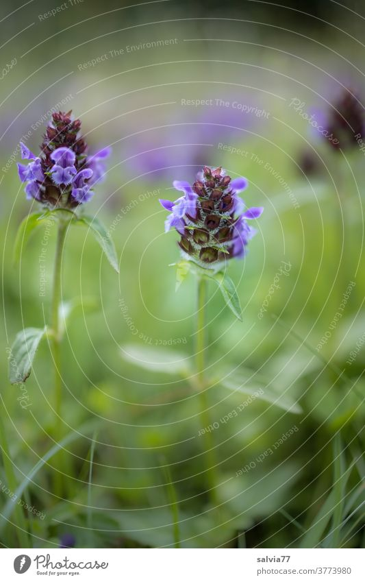 Flower meadow from the frog's eye view Nature flowers wild flowers Meadow Lesser Accentor Prunella vulgaris Grass Blossom Plant Blossoming Green Blue naturally