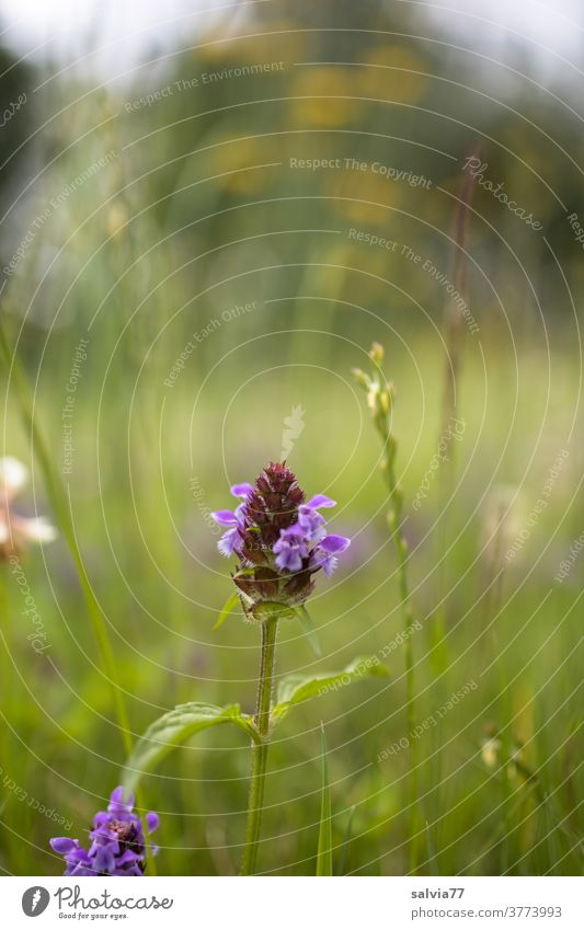 flower meadow Meadow flowers Flower meadow Spring Plant Nature Blossoming Lesser Accentor grasses Summer Grass blossom Field Summery Green Colour photo