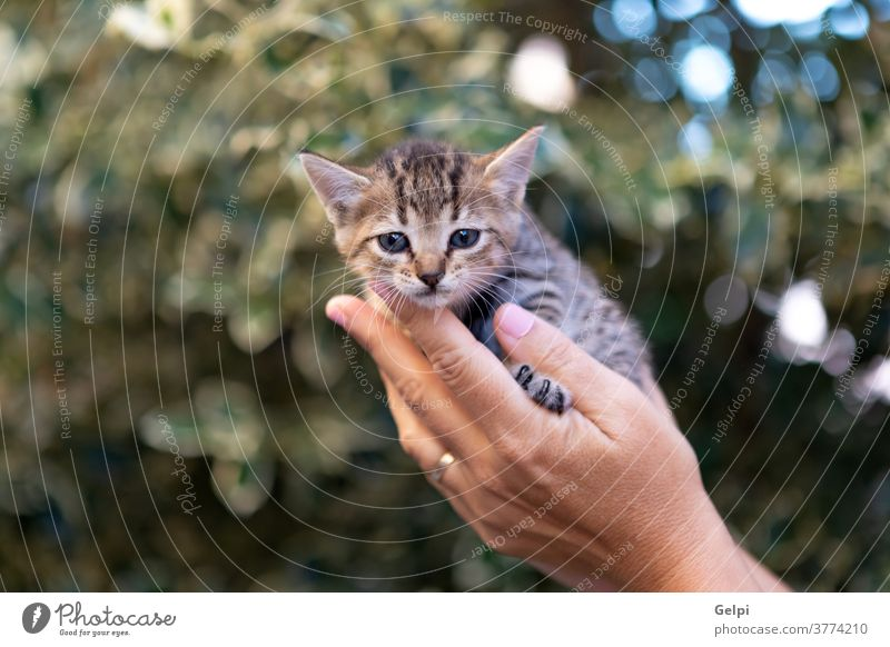 Hands holding a cute kitten cat pet puppy person portrait animal small white young hand paw protection care domestic newborn funny mammal fur man whisker