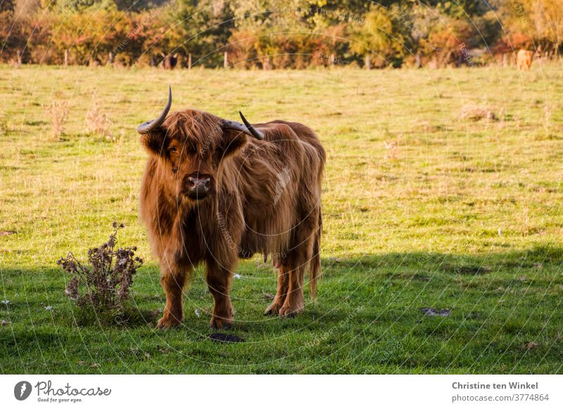 Scottish highland cattle are standing on a pasture and looking into the camera. In the background pasture fence and bushes Highland Cattle Highland cattle