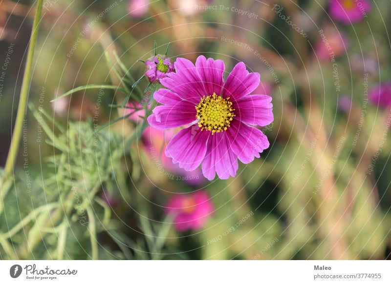 Flowers - Cosmos flowers blooming in the garden closeup blossom autumn beautiful beauty botany bright calm color colorful cosmos detail environment flora floral