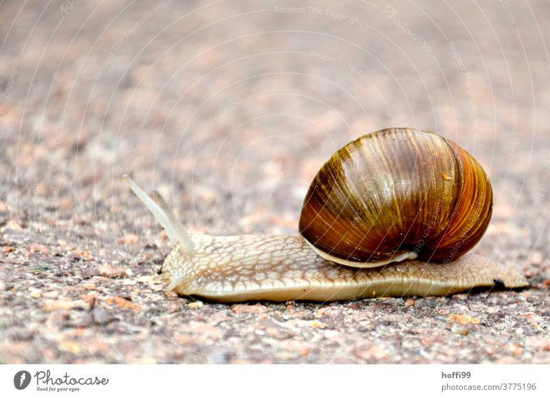 only the silence - a snail crosses the path Feeler Vineyard snail Crumpet Snail shell Mucus Animal Slimy deceleration Slowly sluggishness propel slowly