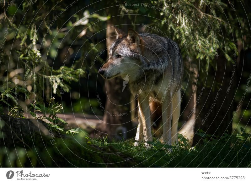 A single Eurasian Wolf stands in the forest Canis lupus Sheep animal animal themes animal wildlife carnivore dangerous dog fur howl hunter loner mammal nature