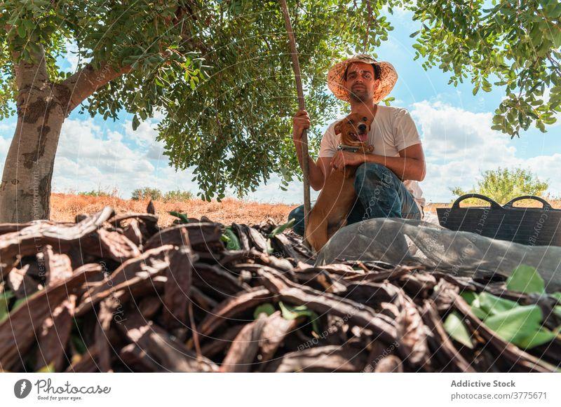 Man with dog sitting near carob tree farmer harvest stick pod ripe collect man work plant worker season agriculture organic fresh countryside lifestyle