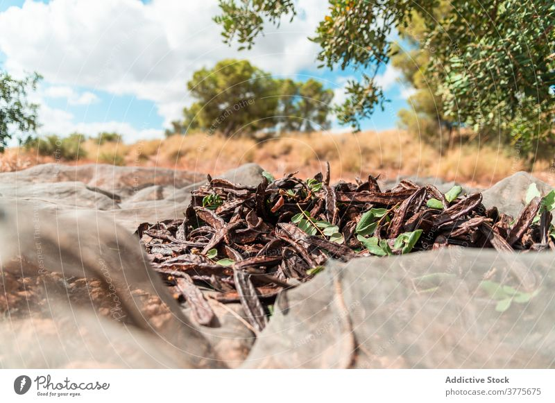Ripe carob pods under tree harvest ripe dry collect plant pile agriculture heap season organic fresh countryside farm cultivate food plantation rural natural