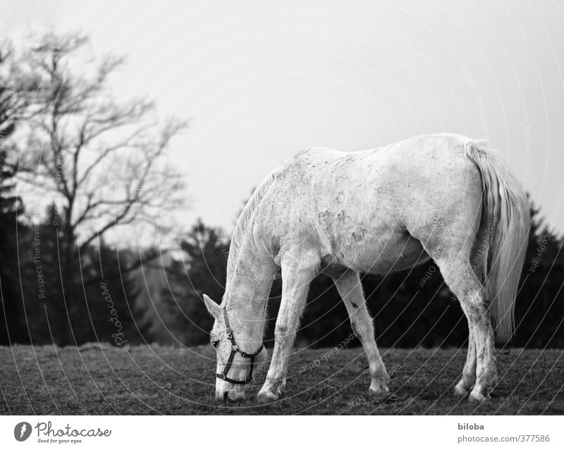 Hüa ho, old grey horse Environment Nature Landscape Meadow Forest Farm animal Horse Gray (horse) 1 Animal Loneliness Contentment To feed Seeming