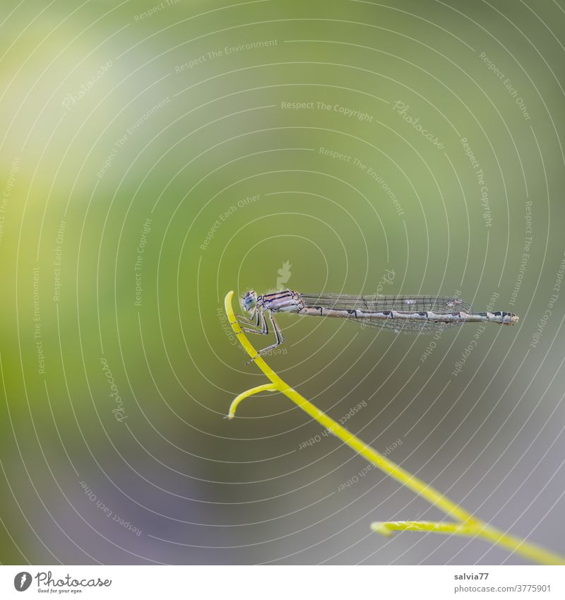 top position Nature Dragonfly Insect Plant Tendril Delicate Above posture macro Copy Space top Neutral Background Deserted Animal Grand piano