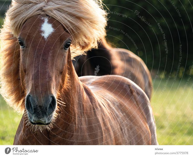 Islandpferd in Bewegung Iceland Pony Motion blur motion Exterior shot Colour photo Animal Day Horse Animal portrait Animal face Farm animal Wild animal 1 Mane
