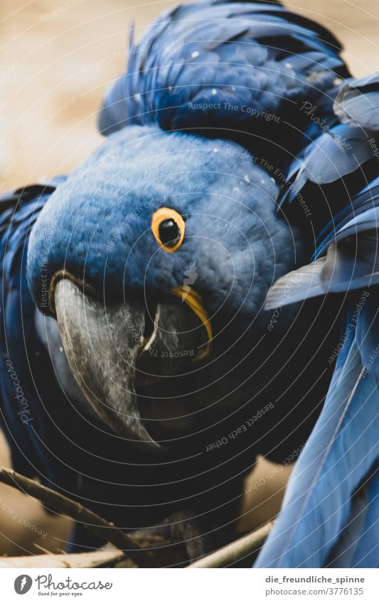Hyanzithara parrot Parrots birds Blue Beak Hyacinth Macaw Animal Colour photo Feather Animal portrait green Wild animal Animal face Looking Grand piano Close-up